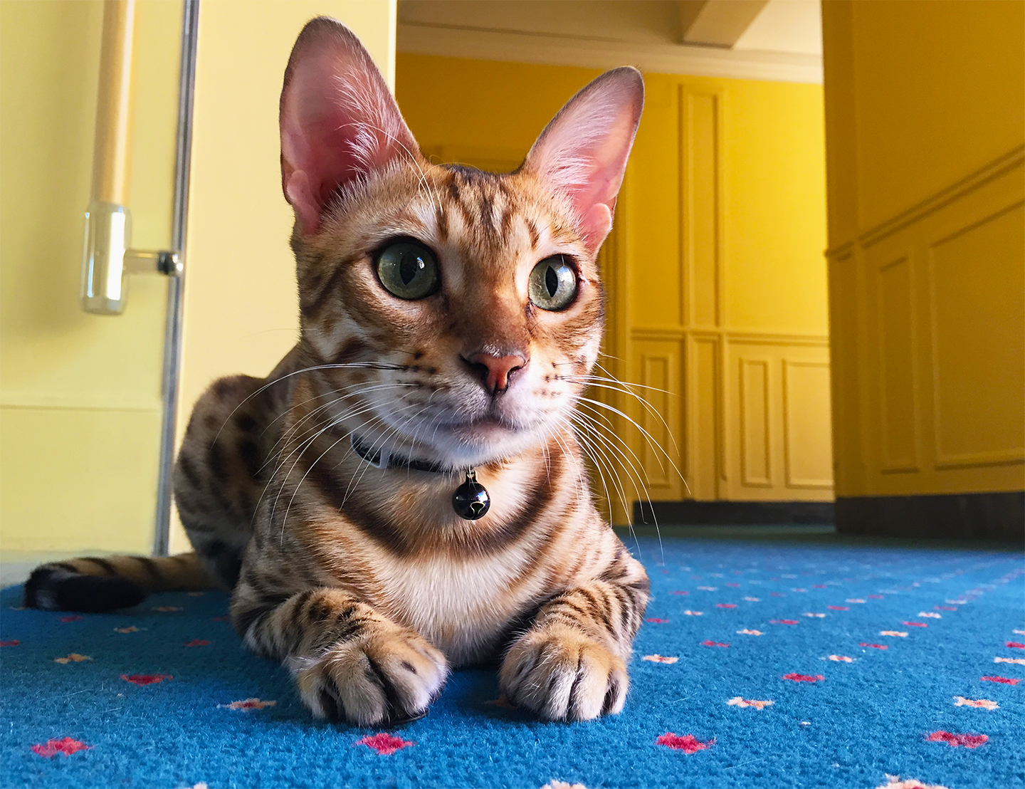 A photograph of a Bengal Cat by Haneen Krimly